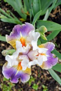 Iris flowers bloom in shades of purple, blue, white and yellow and include many hybridized versions that are multi-colored.