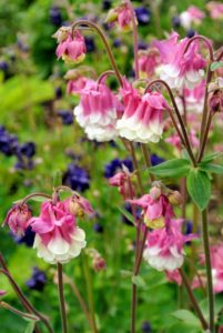 There are more than 65 species of columbine, most ranging in height from one to three feet tall.