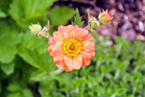 Geum is a relative of the strawberry. Its bright and showy, cup-shaped flowers appear in late spring.