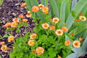 Geum, commonly called avens, is a genus of about 50 species of rhizomatous perennial herbaceous plants in the rose family, widespread across Europe, Asia, North and South America, Africa, and New Zealand. They produce flowers on wiry stalks, in shades of orange white, red, and yellow.