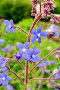 Anchusa is a hardy annual, biennial or perennial plant. Common names include Summer forget-me-not, Alkanet, Bugloss, Italian Bugloss, Dyer's Bugloss and Cape forget me not. Anchusa plants have very intense flowers of deep blue.