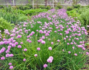 Chives is the common name of Allium schoenoprasum, an edible species of the Allium genus. Chives are a commonly used herb and can be found in many home gardens. I have a wide row of it growing in this garden.