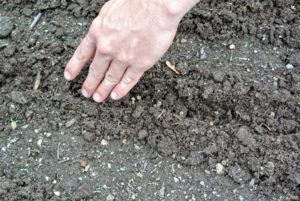 Ryan sprinkles the seeds in the furrows and then gently backfills the rows with soil.
