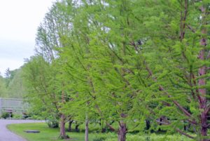 Many of you know, I have bald cypress trees lined up along the carriage road across from my clematis pergola - they are such beautiful trees.