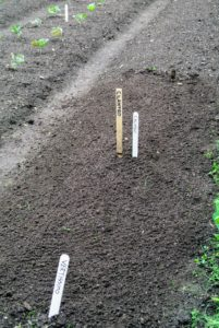 Again, Ryan goes over the bed with the back of the rake to smooth out the soil over all the seeds.