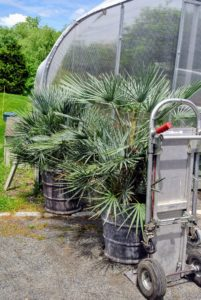 Next, Ryan and Chhiring wheel in a pair of fan palms. Fan palm refers to any of several different kinds of palms with leaves that are palmately lobed, and resembling a fan.