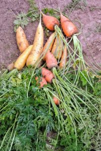 Ryan harvests a nice selection of carrots. I always love to grow many wonderful varieties and colors of carrots!
