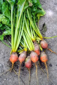 Beets - the beetroot is the taproot of the beet plant. Beets are highly nutritious, and very good for maintaining strong cardiovascular health. It's low in calories, contains zero cholesterol and is rich in vitamins and antioxidants.
