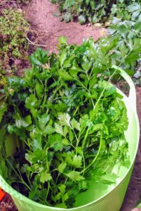Here is a generous bunch of Italian parsley - this will find its way into my morning green juice.