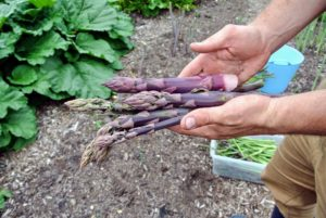 Purple varieties tend to have fewer fibers than their green cousins and higher in sugar content. They are grown in the same manner as the green and lose some of their color during cooking.