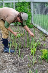 Shoots continue emerging from the soil throughout the spring. After a couple of months as weather starts to warm, the shoots begin to get spindly. This is when we leave them to grow into mature ferny foliage, which will feed the roots for next year's crop.