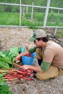 Of the rhubarb plant, only the stalks are eaten. These have a rich, tart flavor. Ryan cuts all the leaves off because they are poisonous when ingested.