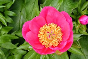 Among my favorite flowers is the peony. The peony is any plant in the genus Paeonia. Peonies are considered rich in tradition - they are the floral symbol of China, the state flower of Indiana, and the 12th wedding anniversary bloom.