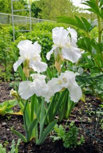 Here is a beautiful white iris.