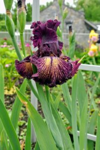 This bearded iris is a deep shade of burgundy.