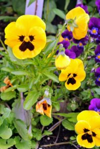 Everyone loves pansies. These short-lived perennials thrive in cool weather; summer heat or prolonged frost kills them, so they are usually grown as annual flowers.