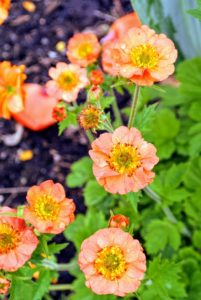 Geum require at least six hours of sun a day, but appreciate afternoon shade. They also require moist, well drained, rich soil.