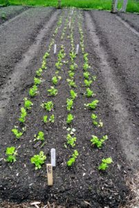 Here is our row of celery. This is 'Tango', a vigorous organic celery, with great flavor and more tender, less fibrous stalks.