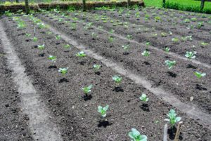 A couple of weeks ago, Ryan and Wilmer planted several beds of cruciferous vegetables. Cruciferous is the scientific name given to a group of vegetables including broccoli, cauliflower, cabbage, and kale. The plants are already showing some growth.