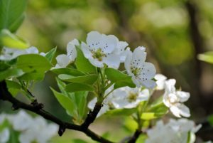 The pear trees are loaded with fragrant, white flowers.