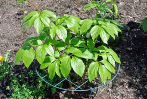 Here is one of the many peonies planted in this garden - all staked up so its stems are supported as it grows.