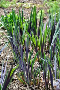 This is the foliage of the iris - a hardy, reliable, and easy to grow plant. Irises also attract butterflies and hummingbirds and make lovely cut flowers.