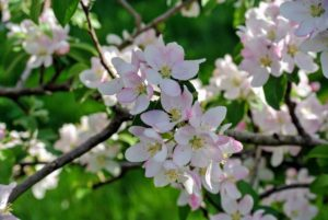 These beautiful flowers attract honeybees seeking nectar.