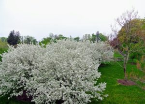 This photo was taken from the hay loft of my stable - so pretty. The crabapple has more than 35-species and 700-cultivars.