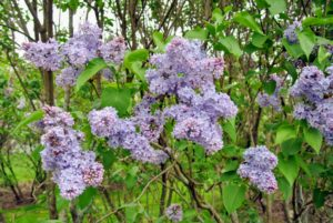 Lilacs were introduced into Europe at the end of the 16th century from Ottoman gardens and arrived in American colonies a century later. To this day, it remains a popular ornamental plant in gardens, parks and homes because of its attractive, sweet-smelling blooms.