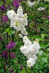 Do you know... the lilac is the state flower of New Hampshire, and the state bush of New York?