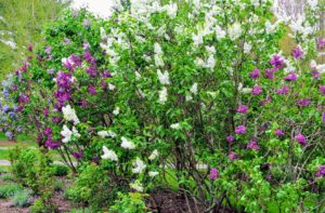 And, lilacs were grown in America's first botanical gardens - both George Washington and Thomas Jefferson grew them.
