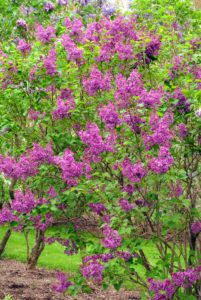 The bold lilac colors look so pretty against the deep green foliage.