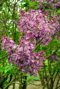 "The lilac is known as the ""queen of shrubs"" and the name lilac comes from the Persian word meaning bluish."