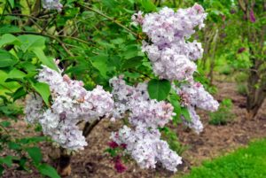 Lilacs have pyramidal clusters of blossoms with both single and double varieties - all with glossy green leaves.