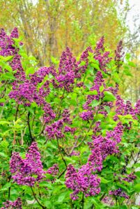 Regular weed pulling around lilacs will reduce any competition for water and nutrients.
