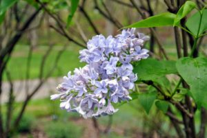 'Wedgwood Blue,' as its name implies, has fragrant flowers in hues resembling blue Wedgwood on spreading shrubs that reach six-feet tall.