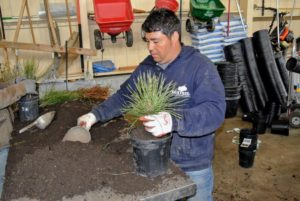 Wilmer concentrates on potting the hundreds of evergreens that arrived from Musser. We always use composted manure and soil in all our garden beds and in these pots.