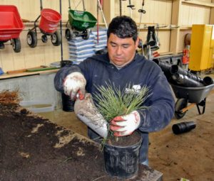 Wilmer keeps the cutting centered in the pot as he fills it with soil.