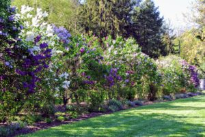 Lilacs - filled with color and fragrance - make a wonderful addition to any garden.
