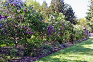 Lilacs come in seven colors: violet, blue, lilac, pink, red, purple and white. The purple lilacs have the strongest scent compared to other colors.