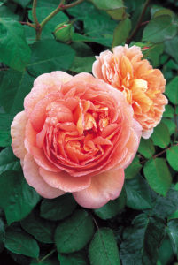 Included in this batch of roses ordered - 'Abraham Darby' - one of the most splendid of all David Austin Roses. The bush is well-rounded with vigorous, healthy growth and hardiness. (Photo courtesy of David Austin Roses)