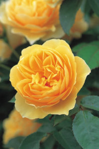 English Rose 'Graham Thomas' has lovely yellow, cup-shaped blooms with a strong, fresh Tea rose fragrance and a cool violet character. (Photo courtesy of David Austin Roses)
