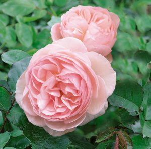 David Austin's 'Heritage' is a strong, healthy English Rose with excellent repeat flowering. The stems are nearly thornless, and the fragrance is beautiful with overtones of fruit, honey and carnation. (Photo courtesy of David Austin Roses)