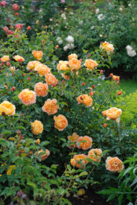 'Lady of Shalott' has apricot-hued blooms. This extremely healthy rose quickly forms a large, bushy shrub with slightly arching stems, and approximately 60-petals per flower. (Photo courtesy of David Austin Roses)