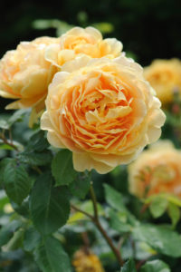 'Golden Celebration' is a new cultivar to my recent David Austen collection. This is one of the most fragrant English Roses. It's known for magnificent blooms perfumed by a strong, fruity scent with hints of citrus or lychee. (Photo courtesy of David Austin Roses)