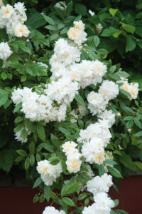 David Austin's 'Snow Goose' is a repeat-flowering rambler rose that blooms abundantly, is very healthy and is reliable and relatively thornless. It grows eight to10 ft high, bearing large sprays of the small to medium sized flowers. (Photo courtesy of David Austin Roses)