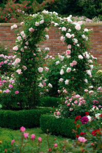 English Rose 'St. Swithun' comes in a gorgeous light pink with double and full blooms. It's one of the all-time great climbers. (Photo courtesy of David Austin Roses)