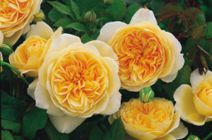 English Rose 'Teasing Georgia' has yellow flowers, each of which has approximately 110-petals. The outer petals fall back, fading to a pale yellow. (Photo courtesy of David Austin Roses)