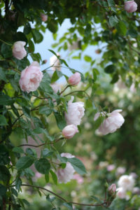 This English Rose 'The Generous Gardener' is known for its delicate beauty and award-winning fragrance mixing old rose, musk and myrrh. (Photo courtesy of David Austin Roses)