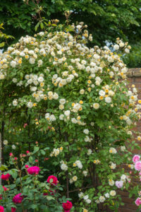 And, David Austin's 'Malvern Hills' is a glorious, repeat-blooming rambler rose that produces large clusters of small, double, soft yellow flowers. (Photo courtesy of David Austin Roses)